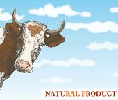 pic of cow head  - cow looks out from behind a corner against a beautiful blue sky with white clouds - JPG