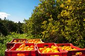 image of orange-tree  - Red and yellow plastic fruit boxes full of oranges by orange trees during harvest season in Sicily - JPG