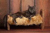 stock photo of medium-  length hair  - A grey Nebelung cat lying on a small rustic wooden bed - JPG