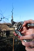 pic of prunes  - Spring pruning branches of grapes in the garden - JPG