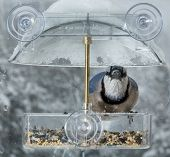 picture of blue jay  - Large blue jay bird in window attached birdfeeder on a wet cold day in winter - JPG