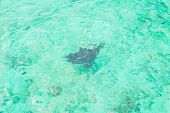 pic of stingray  - A stingray swims over a tropical reef in maldives - JPG
