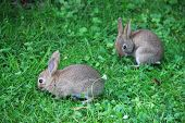 picture of wild-rabbit  - Two cute gray wild baby rabbits in grass - JPG