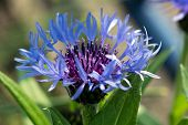 picture of angiosperms  - Blue cornflowers are growing at the edge of a corn field - JPG