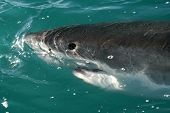 pic of great white shark  - Great White Shark spy hopping from the water - JPG