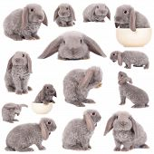 foto of white rabbit  - Grey lop - JPG
