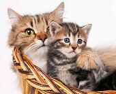 picture of compassion  - Lovely siberian cat with cute little kitten over white background - JPG