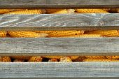 picture of corn cob close-up  - Old corn cob in stack - JPG