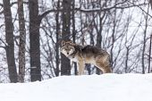 pic of coyote  - A lone coyote in a winter scene - JPG