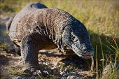 stock photo of giant lizard  - The Komodo dragon  - JPG