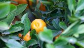 pic of tangerine-tree  - ripening fruit mandarin tree on a tree branch - JPG