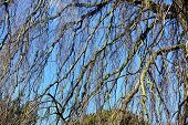 picture of weeping willow tree  - The bare branches of a weeping willow tree in winter - JPG