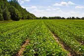 stock photo of soybeans  - Soybean field on a background of forest - JPG