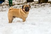 foto of pug  - Pug in snow.  Pug is in the snow in the park.
