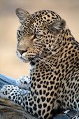foto of leopard  - A leopard stars towards the camera in Botswana