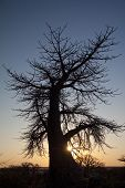 picture of veld  - A baobab tree in the setting light of day - JPG