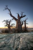 image of baobab  - A large baobab tree on Kubu Island in Botswana - JPG