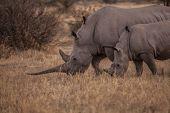 foto of rhino  - Mother and daughter rhino eating grass at sunset  - JPG
