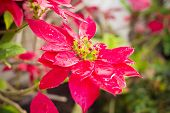 foto of poinsettia  - Red Christmas poinsettia plants in the garden - JPG