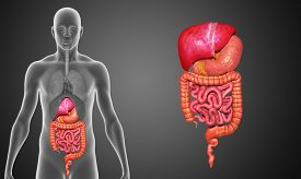 picture of rectum  - In the human digestive system - JPG