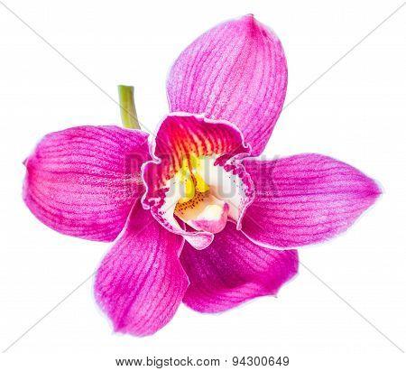 Beautiful Purple Cymbidium Flower Orchid Close Up Isolated On White Background