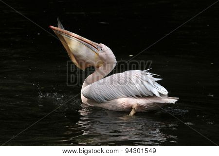 Great white pelican (Pelecanus onocrotalus), also known as the rosy pelican eating fish. Wildlife animal.