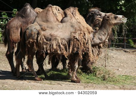 Herd of the Bactrian camels (Camelus bactrianus). Wildlife animal.