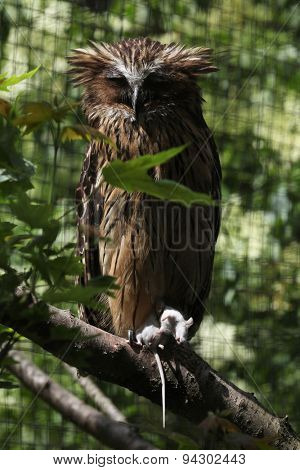 Buffy fish owl (Bubo ketupu), also known as the Malay fish owl holding a dead mouse. Wildlife animal.