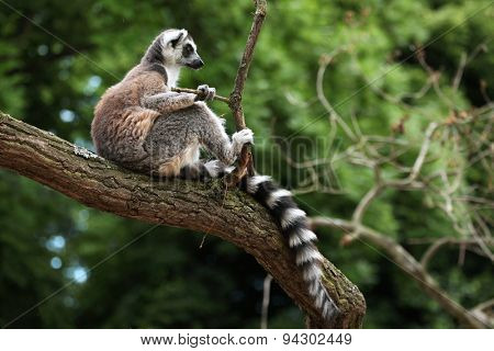 Ring-tailed lemur (Lemur catta) sitting on branch. Wildlife animal.