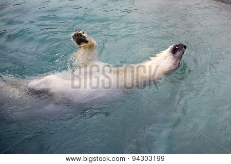 Polar bear swimming on his back - taken on a zoo