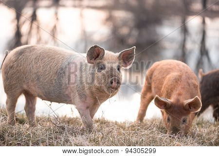 Mangalitsa Little Pig On The Field