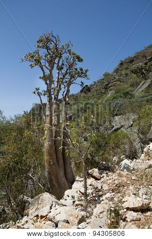 The Socotra Desert Rose or Bottle Tree Adenium obesum var socotranum, Homhil Plateau, Socotra Island