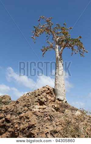 The Socotra Desert Rose or Bottle Tree (Adenium obesum socotranum).