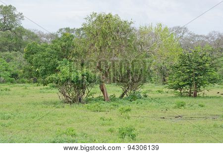 Tree vegetation in Yala