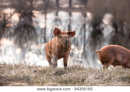 Cute Orange Mangulitsa Pig