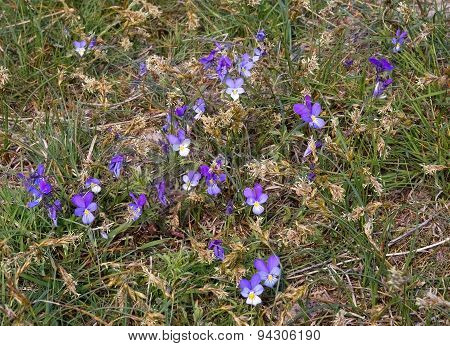 Purple violet flowers blossoming on a heath