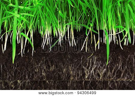 Green grass slice with roots in the ground close-up