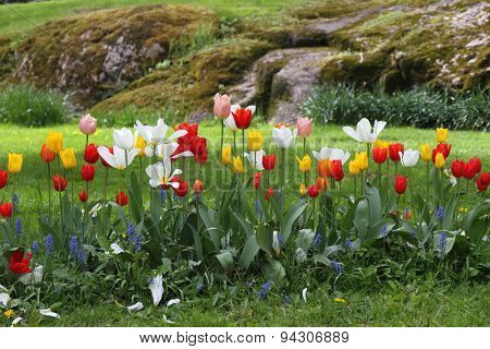 Flower garden - tulips in spring