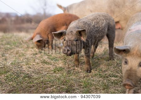 Three Young Mangulitsa Pigs In A Row