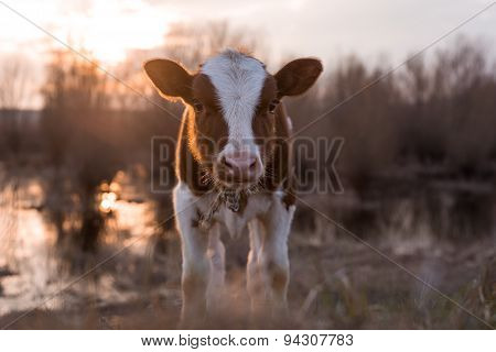 Calf Cow Looking At The Camera At Sunset