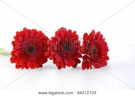 Bright Red Gerbera Daisy Flowers