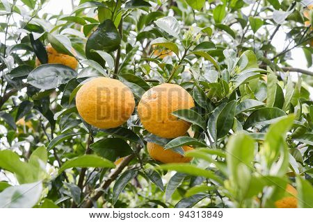 Tangerine Growing On A Tree