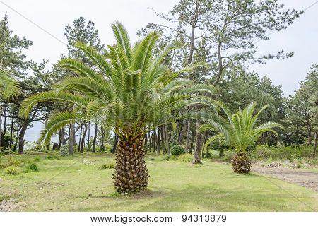Canary Palm Tree
