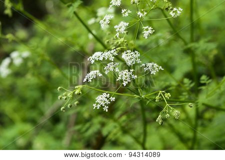 Angelica Acutiloba Flowers