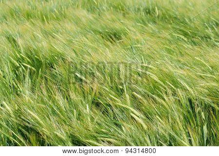 Wind in barley field