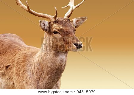 Red deer isolated