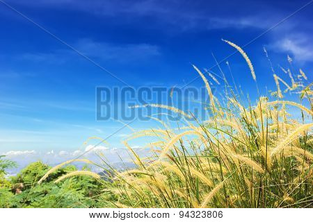 Poaceae At View Point On Hight Mountain