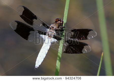 Common Whitetail Dragonfly - Plathemis lydia