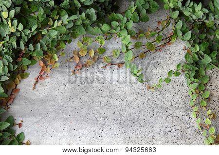Ficus Pumila Wall