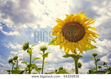 Blooming sunflowers with blue sky and clouds on a sunny day